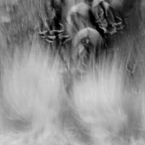 world's best wildlife photographer - this black and white wildebeest crossing photo placed in the wildlife photographer of the year competition.