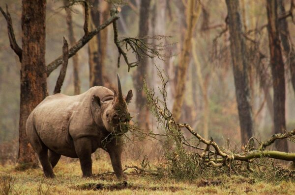 who is the best wildlife photographer in the world? This photo of a black rhino won an award in the endangered category of the wildlife photographer of the year