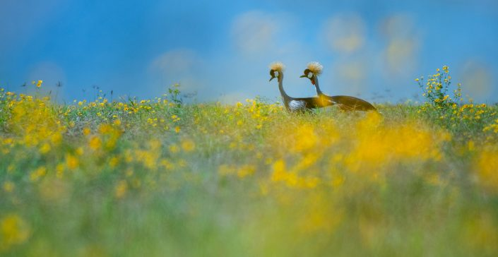 fine art wildlife photography - Crowned Cranes