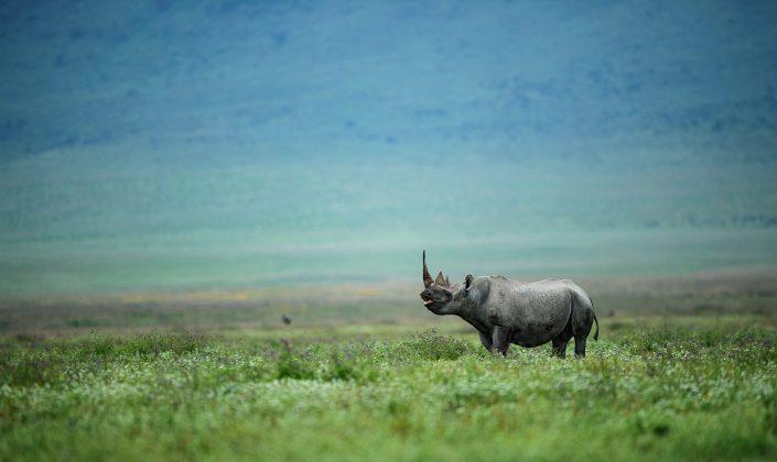 fine art wildlife photography - Rhino Bliss