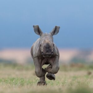 african wildlife photography - Coming At You