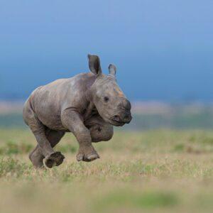 african wildlife photographer - baby rhino