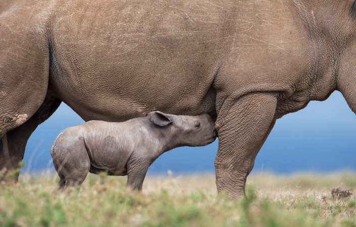 african conservation photography - baby rhinoceros