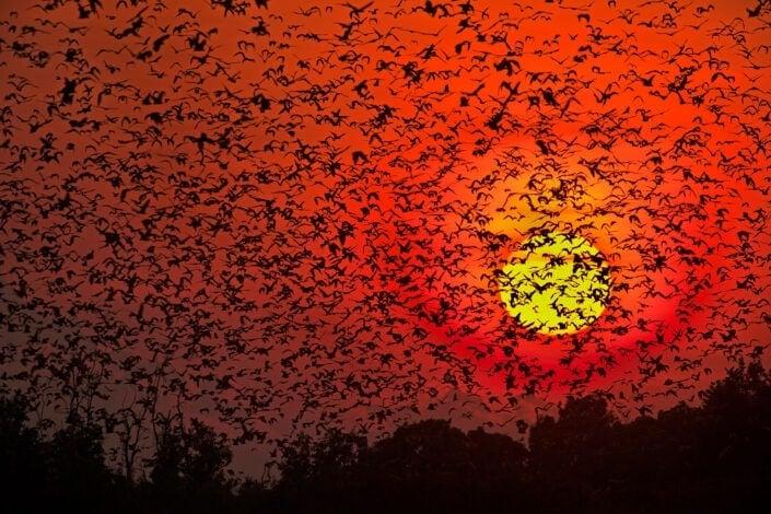 silhouette photography - Bat Blizzard