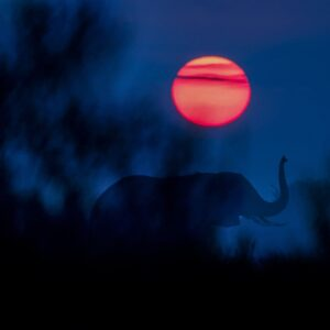 Africa wildlife photography - Elephant Sunrise