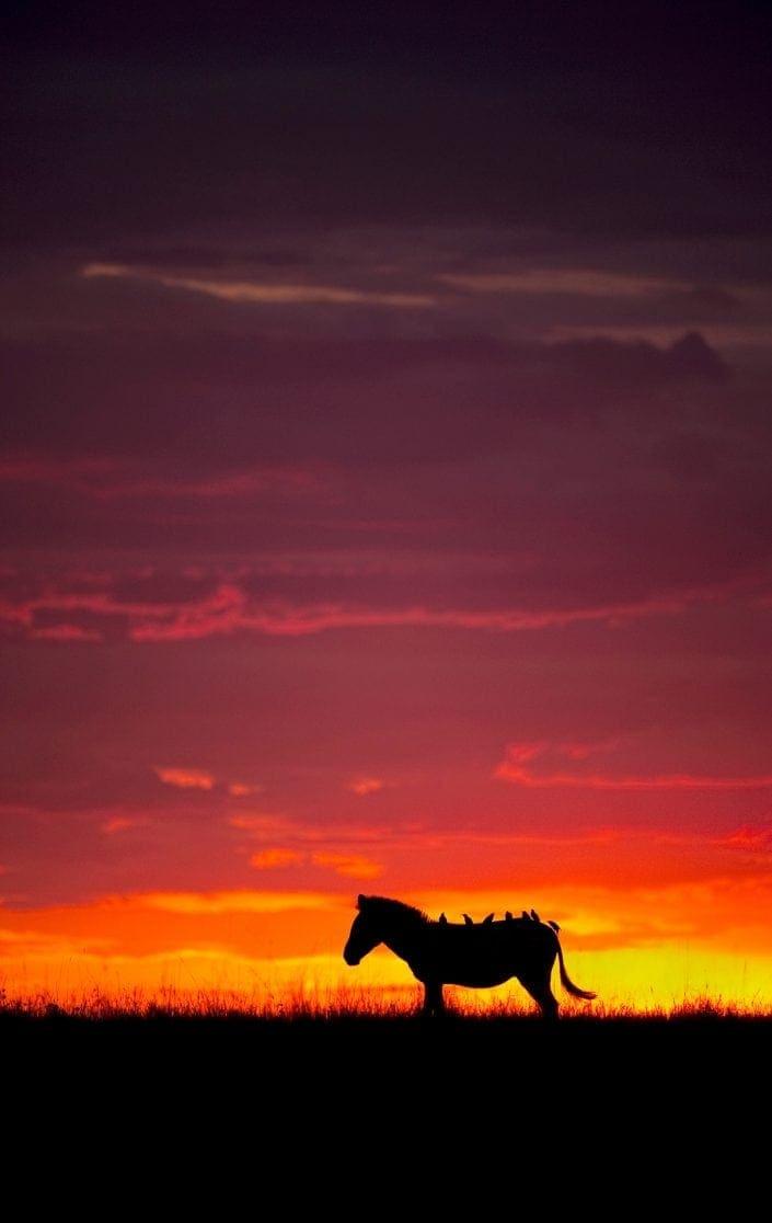 zebra silhouette - A Zebra and Seven Oxpeckers