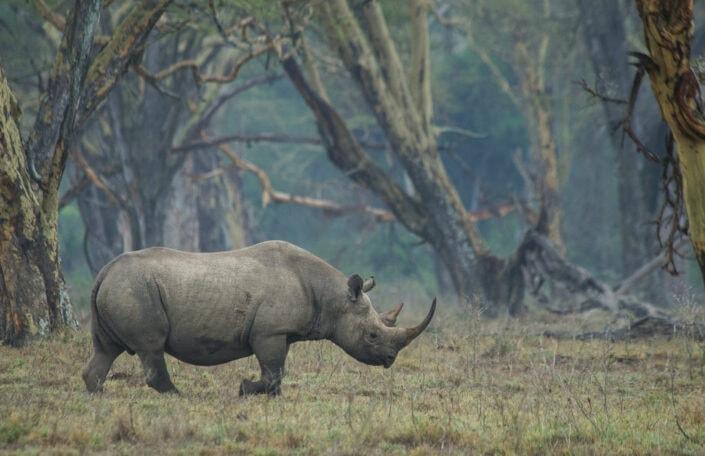 Forest Rhino - This animalscapes print was captured in Kenya's Lake Nakuru.
