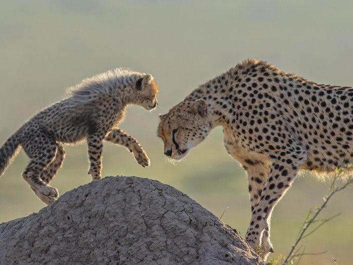 kenya mobile camp photo safari - cheetah and cub in the Maasai Mara