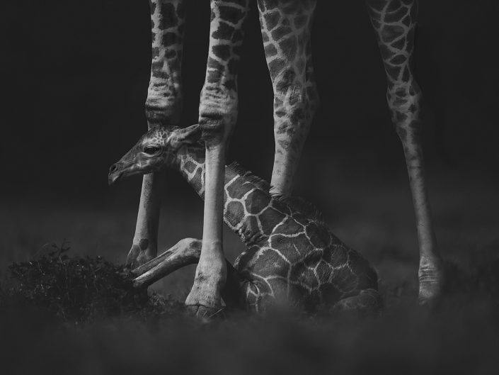 kenya private photo safari - baby giraffe