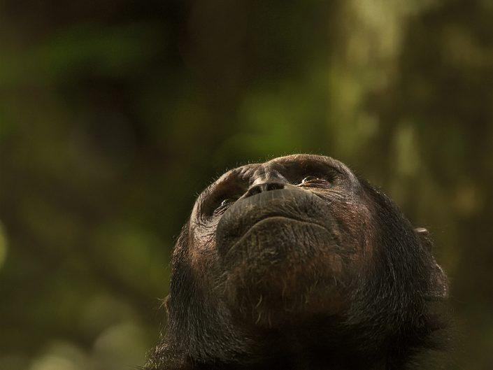 mahale chimpanzee photo safari - greystoke camp