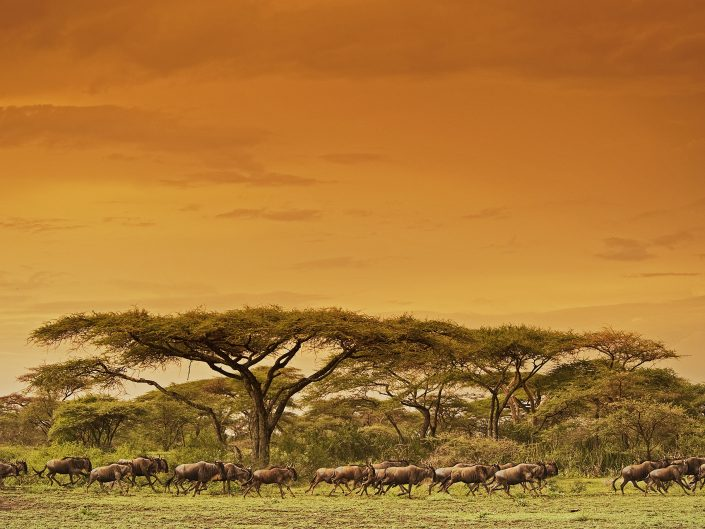 serengeti migration photo safari - wildebeest migrating