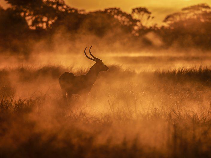 kafue photo safari - lechwe antelope on the plains