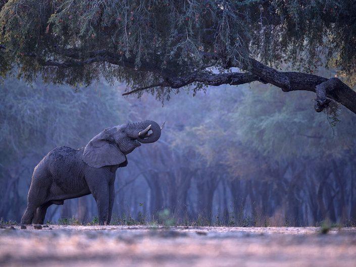 lower zambezi photo safari - elephant in forest