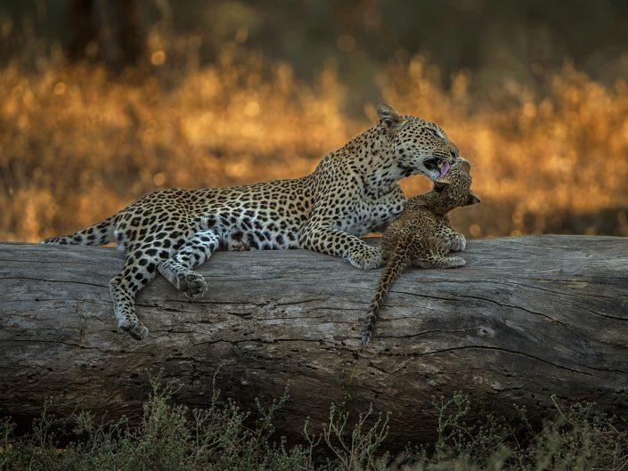 South Luangwa photo safari - leopard and cub