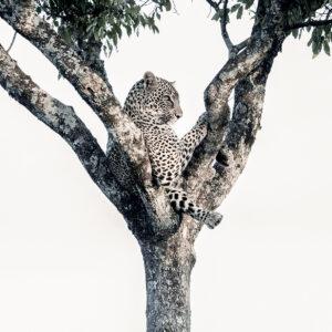 Reclining Leopard - high key wildlife photography