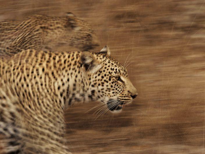 big cat photography workshop - leopard and cub