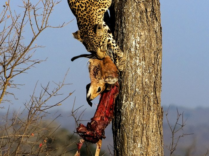 best african photography safari tours - leopard in tree