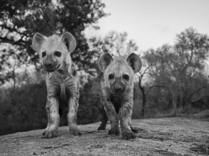 mala mala photo safari - hyena cubs
