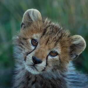 Mara Cheetah Cub - Wildlife portrait photography by famous African wildlife photographer Greg du Toit.