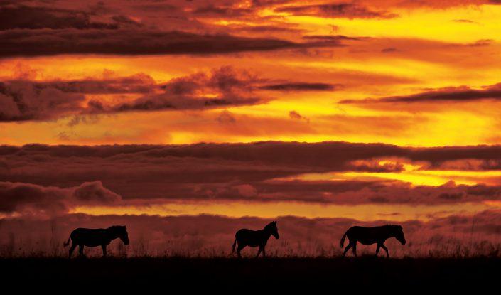 zebra silhouette - Zebra Sunset