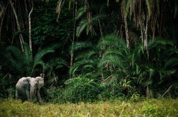 animal in its environment - Forest Elephant