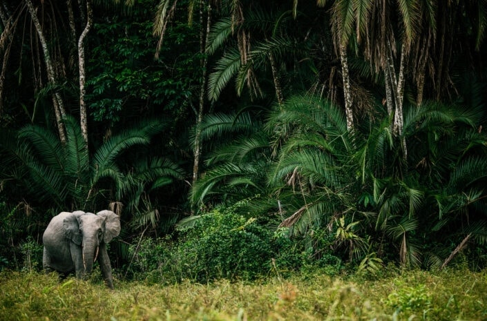 Forest Elephant -An animal in its environment print by African wildlife photographer Greg du Toit.