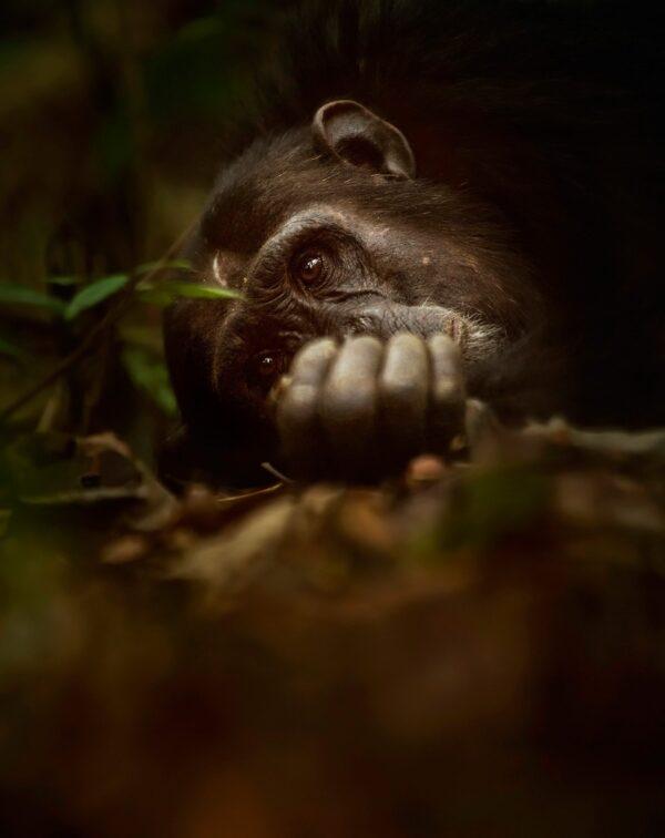 wildlife portrait photography - Chimpanzee Siesta