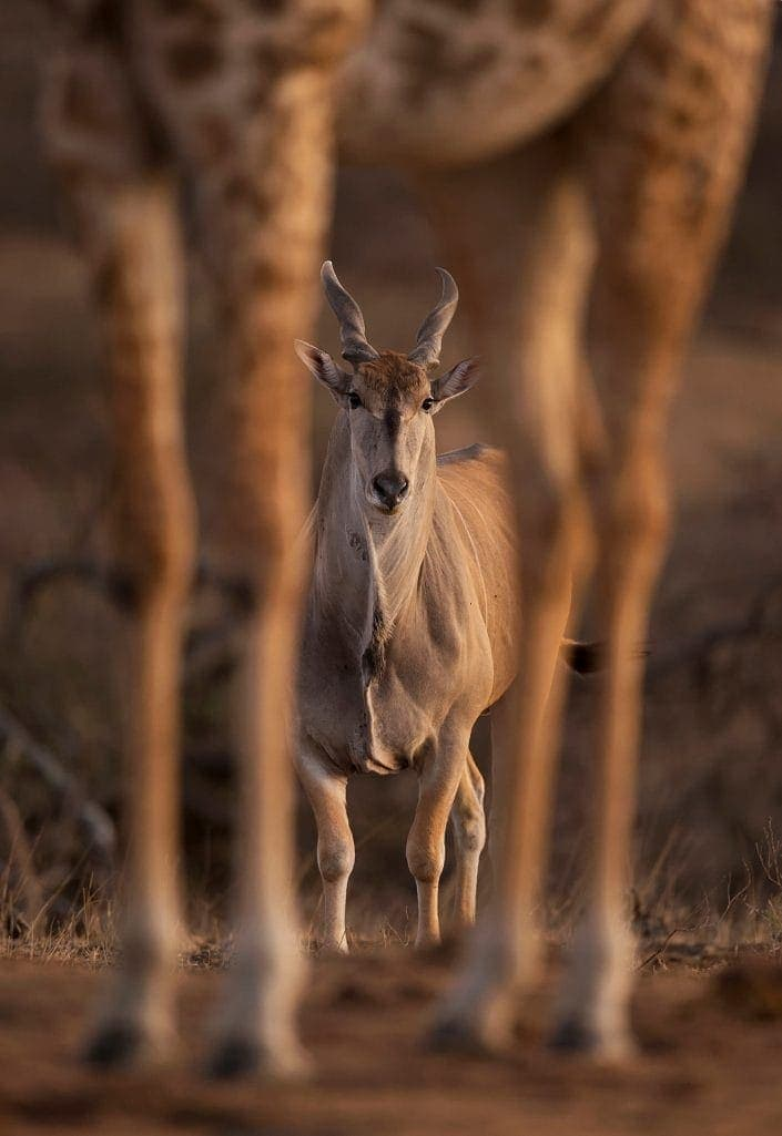 Through The Legs - Wildlife portraits by award winning African wildlife photographer Greg du Toit.