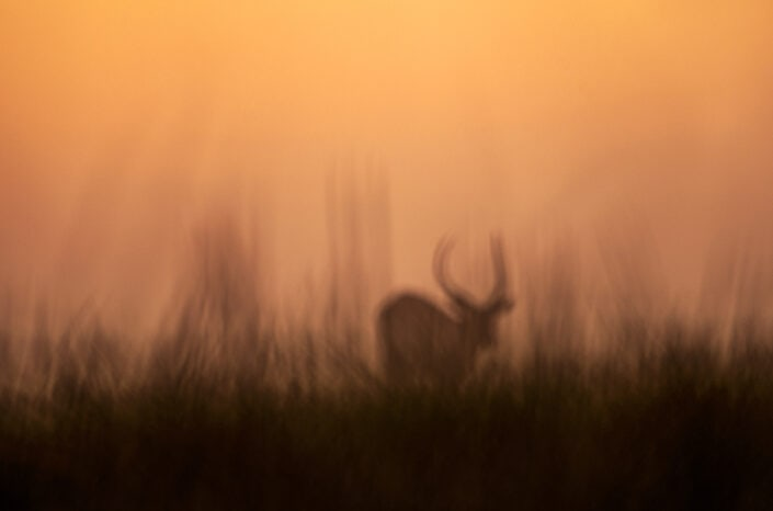 Disappearing Lechwe - African wildlife fine art photography.