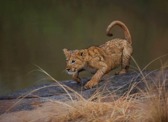 masai mara migration photo safari - lion cub playing