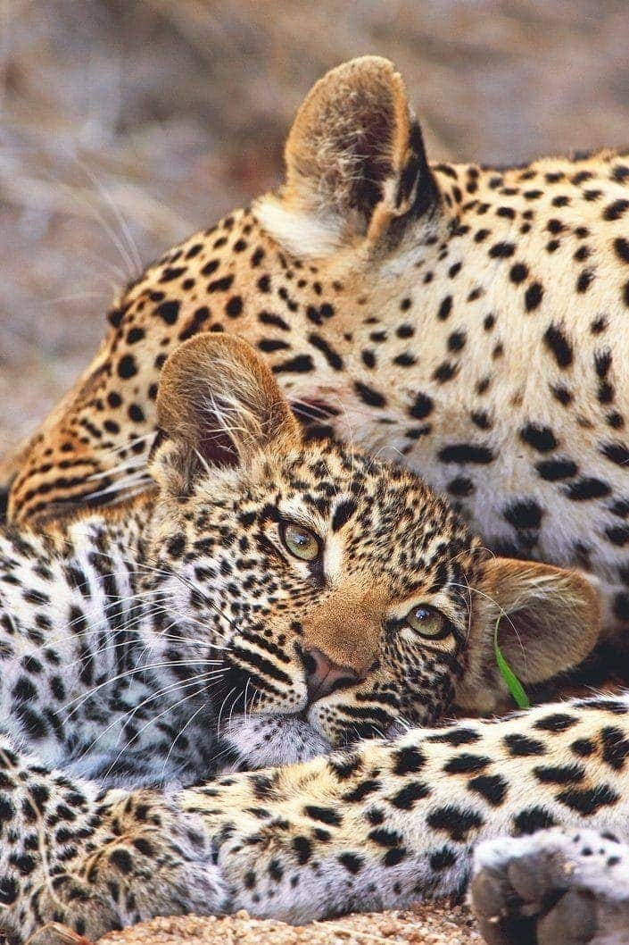 leopard photography - a mother leopard with her cub