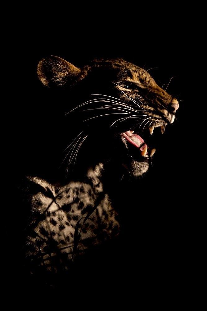 leopard photo safari - picture of a leopard at night