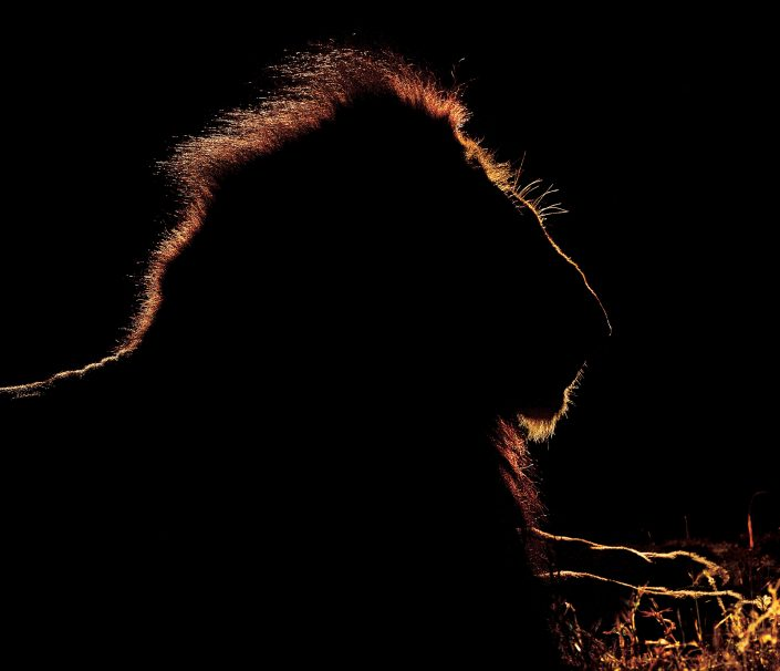 south africa photography safari - lion
