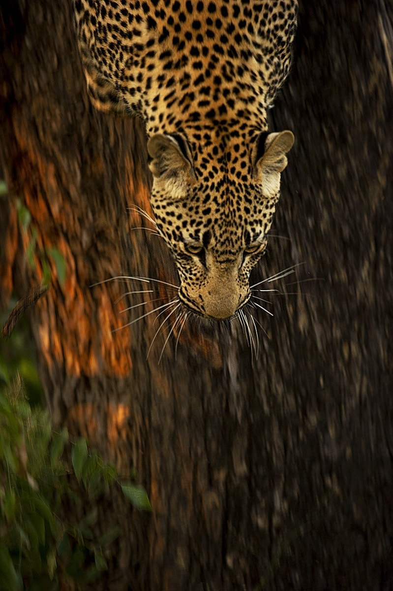 best place to see leopards in Africa - leopard running down a tree