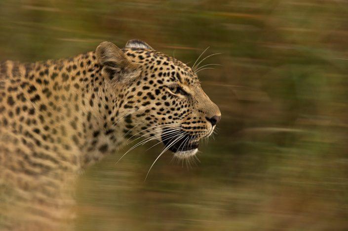 leopard photo safari - leopard walking