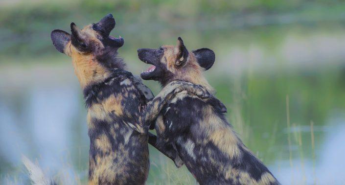 south africa photography safari - wild dog