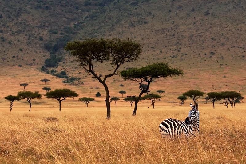 Kenya photographic safari - zebra