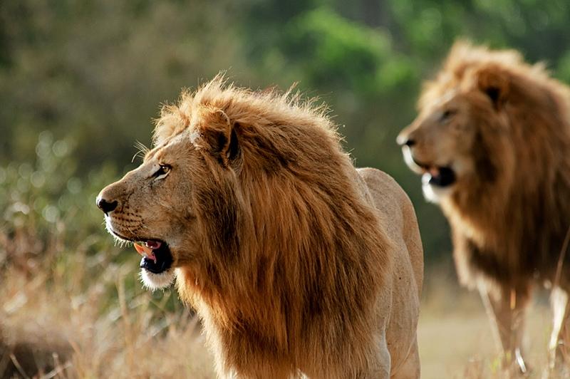 Kenya photo safari - lions