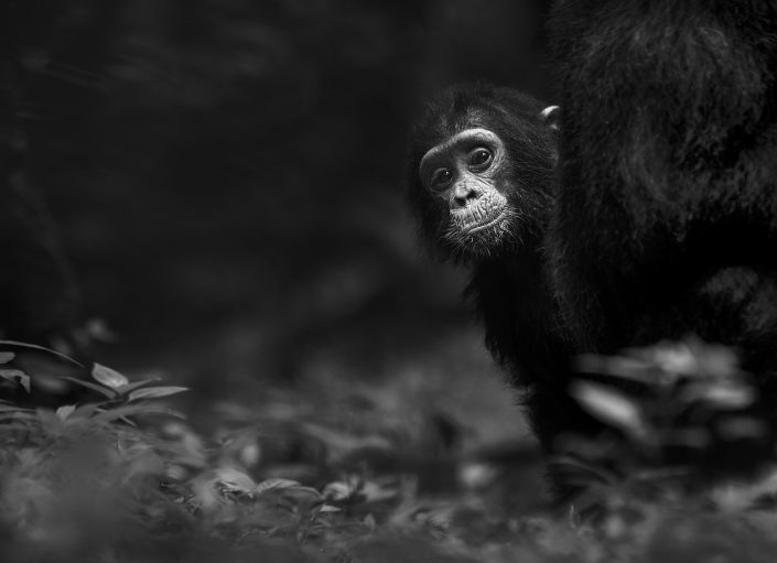 Tanzania chimpanzee photo safari - a baby chimpanzee photographed while trekking chimpanzees in the Mahale Mountains