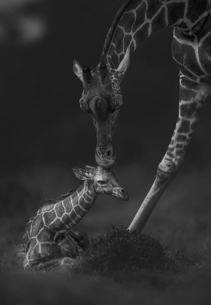best kenya photo safari - a giraffe mother kisses her baby