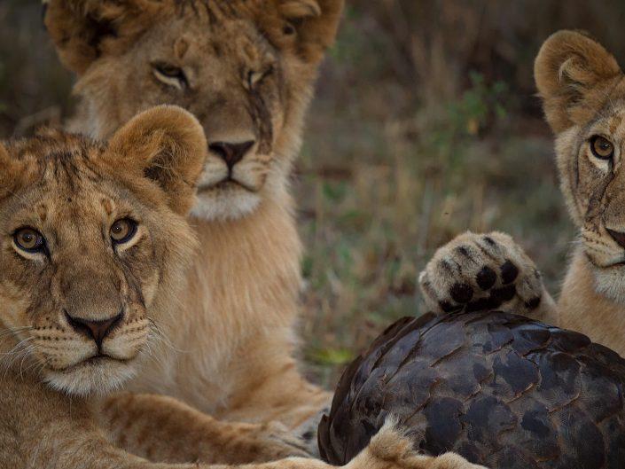 Masai Mara Signature Predator Safari