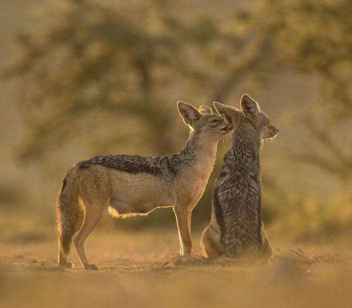 Kenya photographic safari - jackals