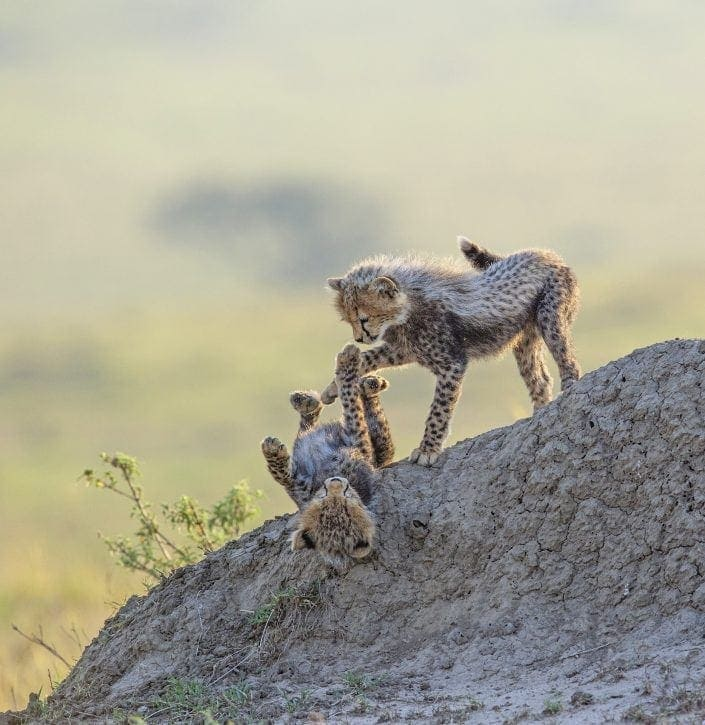 Masai Mara predator safari - cheetah cubs