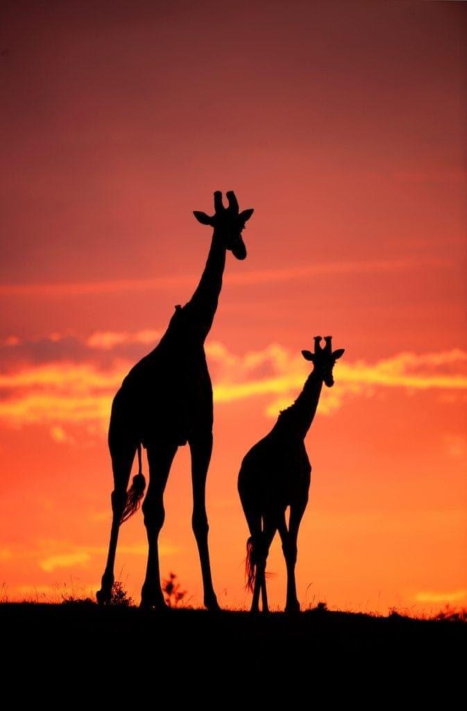 kenya photo safari - giraffe sunset