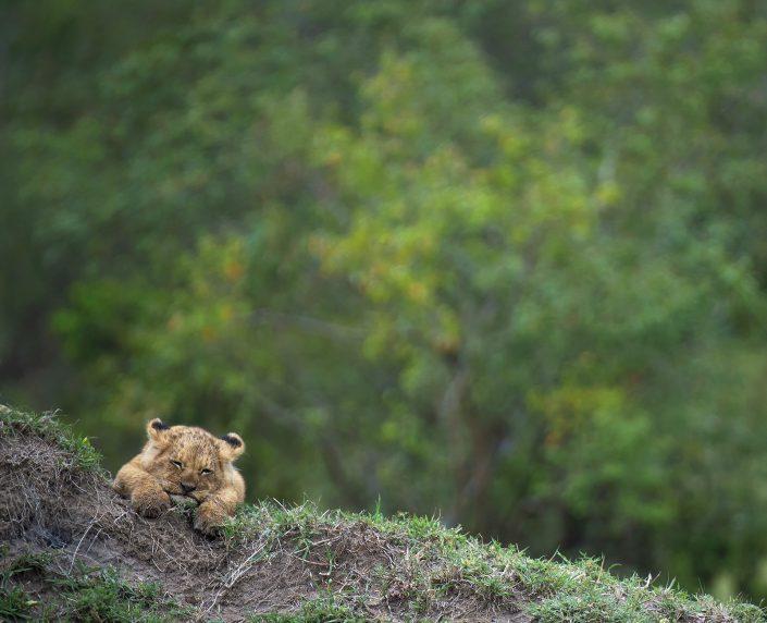 Africa wildlife photo safari - lion cub
