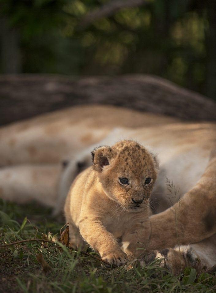 Maasai Mara predator safari - lion cub