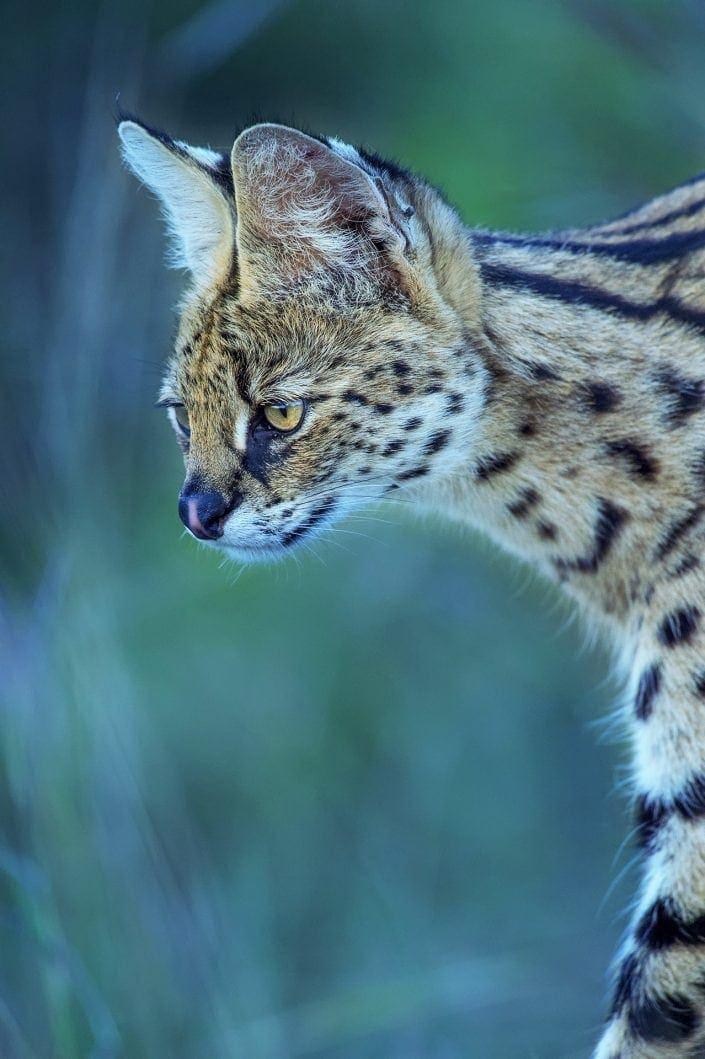 Africa wildlife photography safari - serval