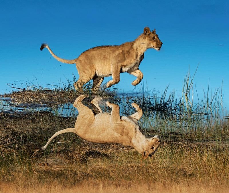 best big cat photography workshop - a lioness leaps over water in Botswana's Okavango Delta