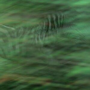 Zebra Impression - panning photo