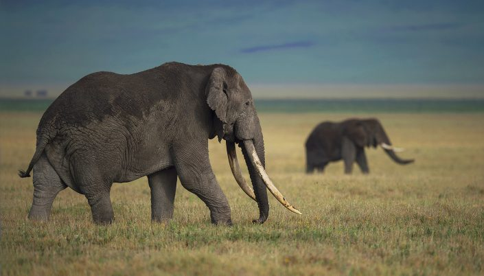 ngorongoro crater photo safari, elephant tusker